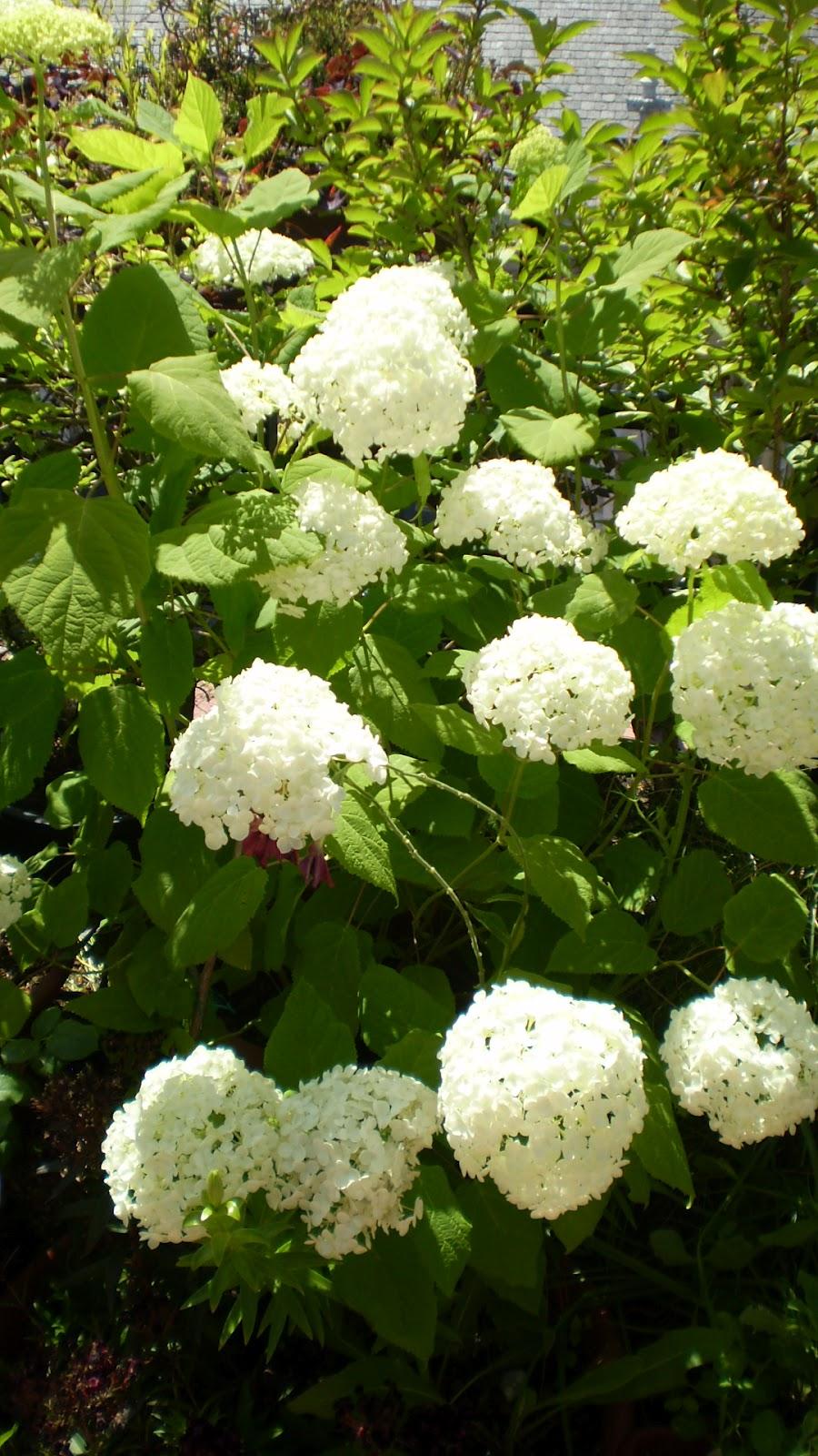 El jardinero urbano hortensias hydrangea mundos - Hortensias cuidados poda ...