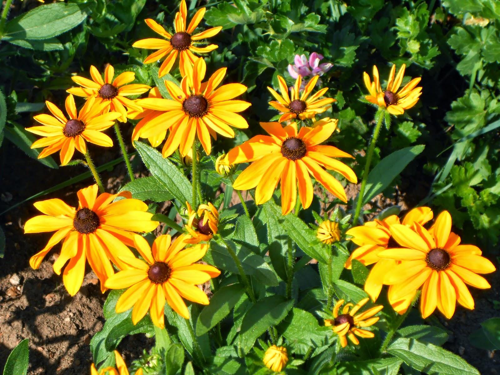 Рудбекия: выращивание из семян, посев и уход за рассадой
