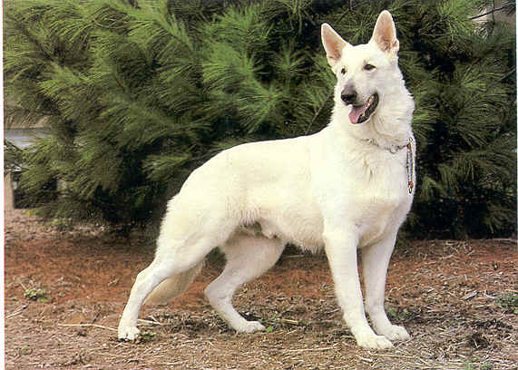 Big German Shepherds: Pure White German Shepherd