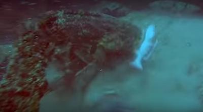 Γιγάντια σφυρίδα κλέβει το ψάρι από το καμάκι του ψαροντουφεκά