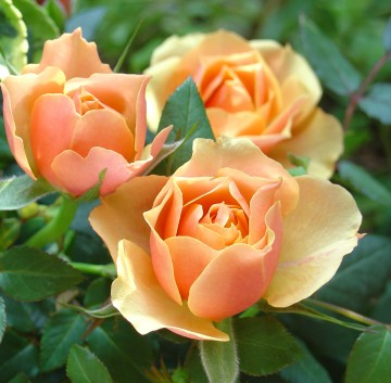 la rose Rose%2Borange