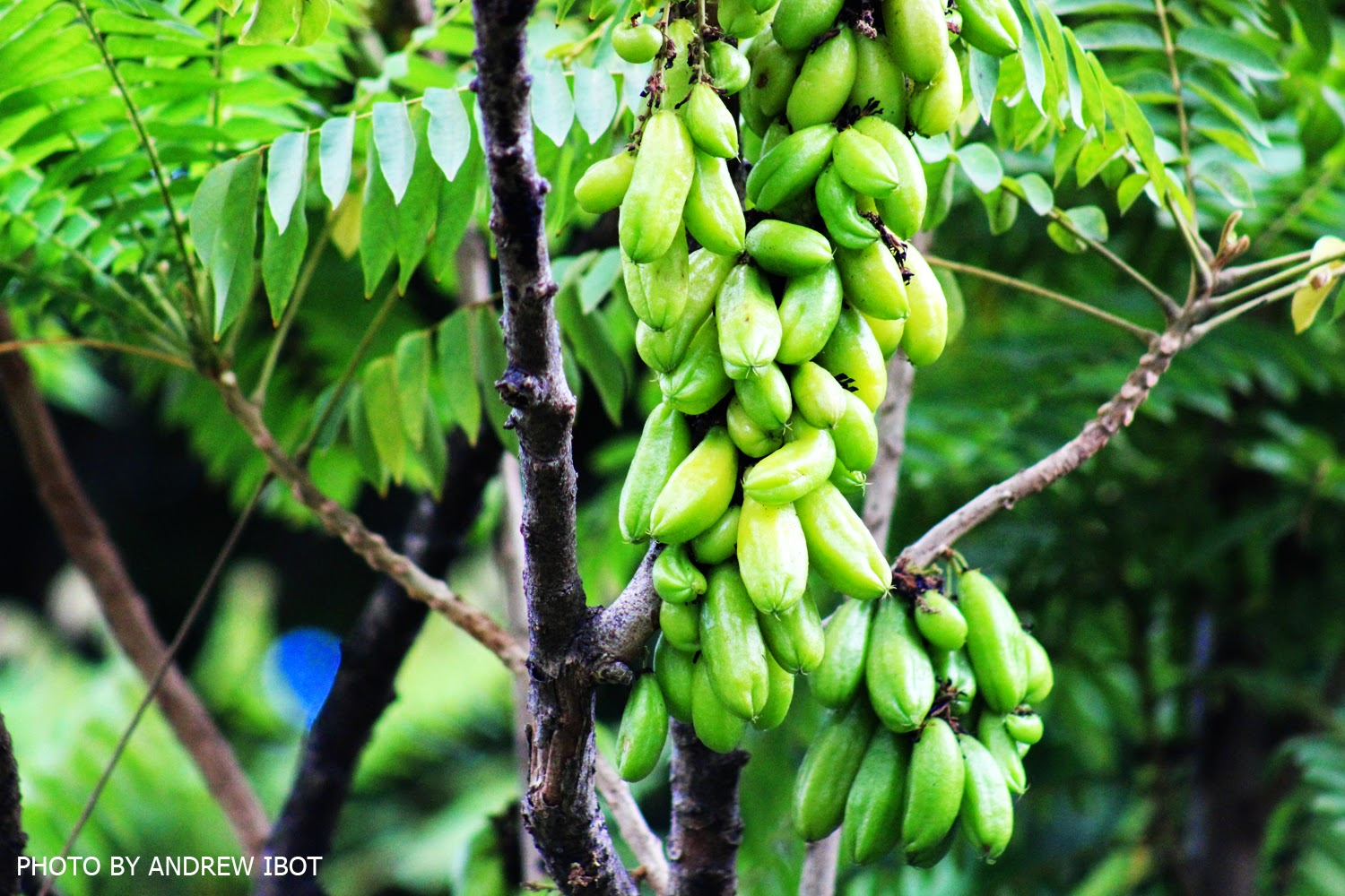 the utilization of kamias averrhoa bilimbi Uses, benefits, cures, side effects, nutrients in bilimbi list of various diseases cured by bilimbi how bilimbi is effective for various diseases is listed in repertory format.
