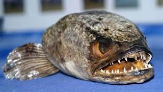 Asian 'Frankenfish' snakehead