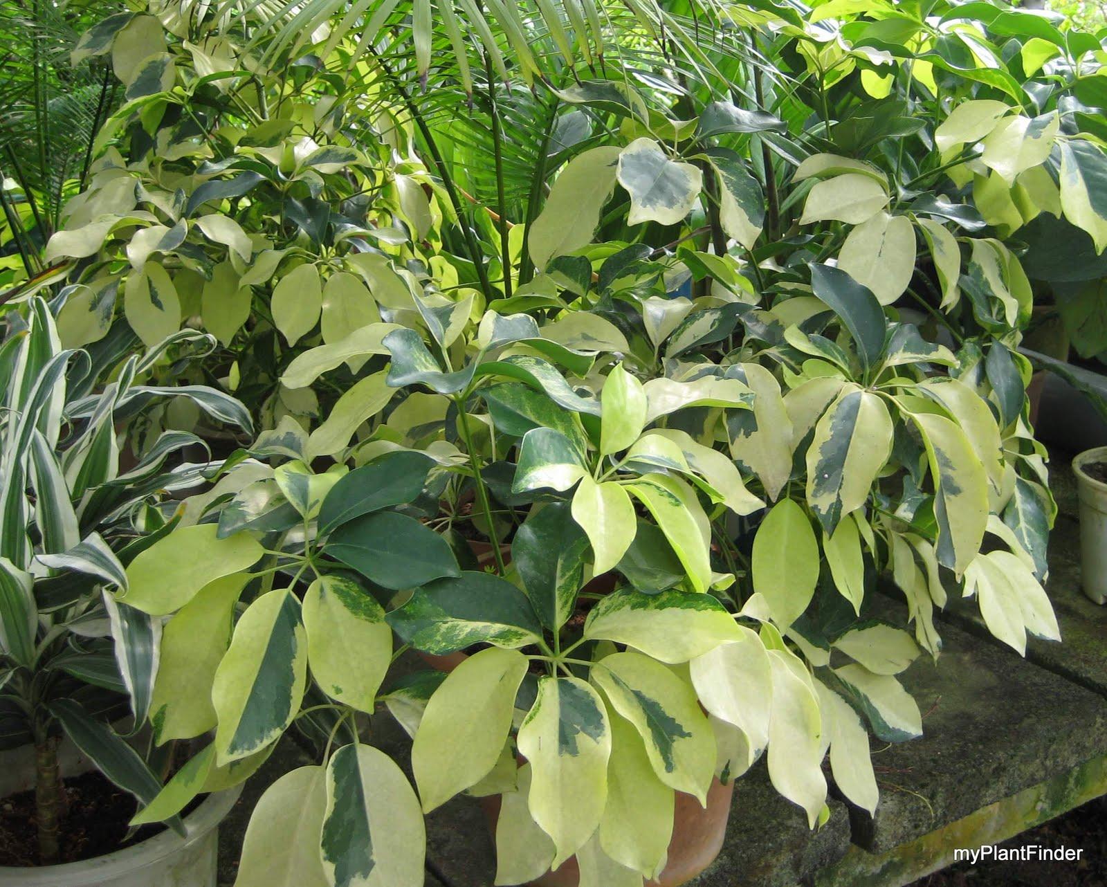MY PLANT FINDER   Plant Guide  Schefflera arboricola cultivar