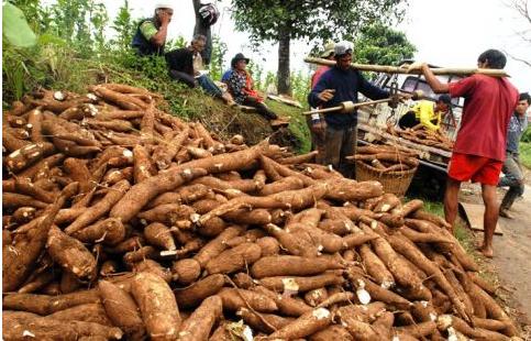 Petani Sukses Berkat Singkong Lampung ~ Biografi Pengusaha