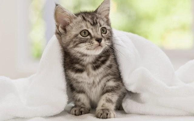 hình nền mèo con đẹp full hd