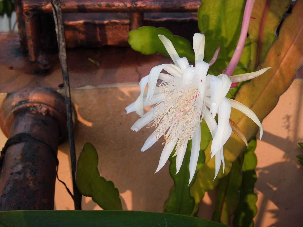 Pengobatan Hipertensi Dengan Tanaman Bunga Wijayakusuma
