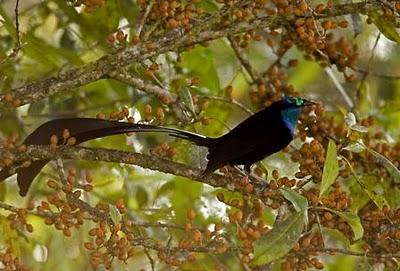 Foto Burung Cendrawasih Terindah di Dunia