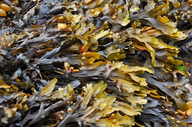 Fakta Tentang Manfaat Rumput Laut Yang Perlu Anda Ketahui
