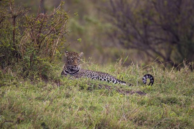 Leopard in der Masai Mara, Kenia