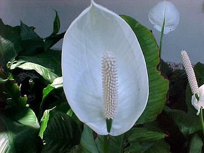 1 Spathiphyllum %Category Photo