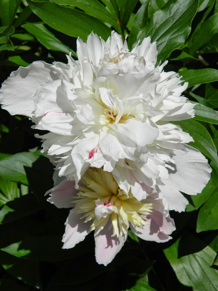 Paeonia lactiflora Festiva Maxima herbaceous peony Toronto Botanical Garden by garden muses-not another Toronto gardening blog