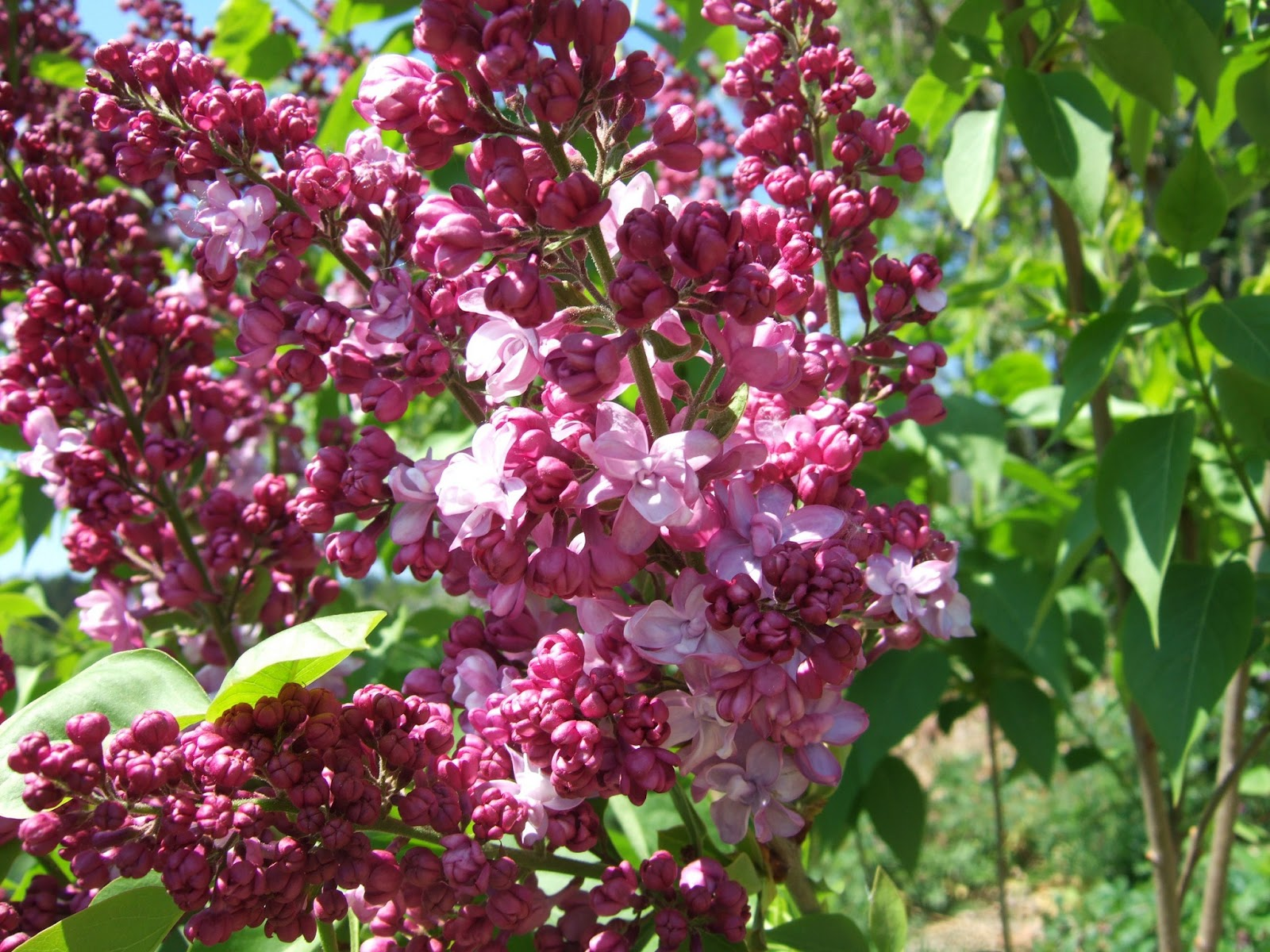pflanzen resort flieder syringa vulgaris 39 michel buchner 39 39. Black Bedroom Furniture Sets. Home Design Ideas