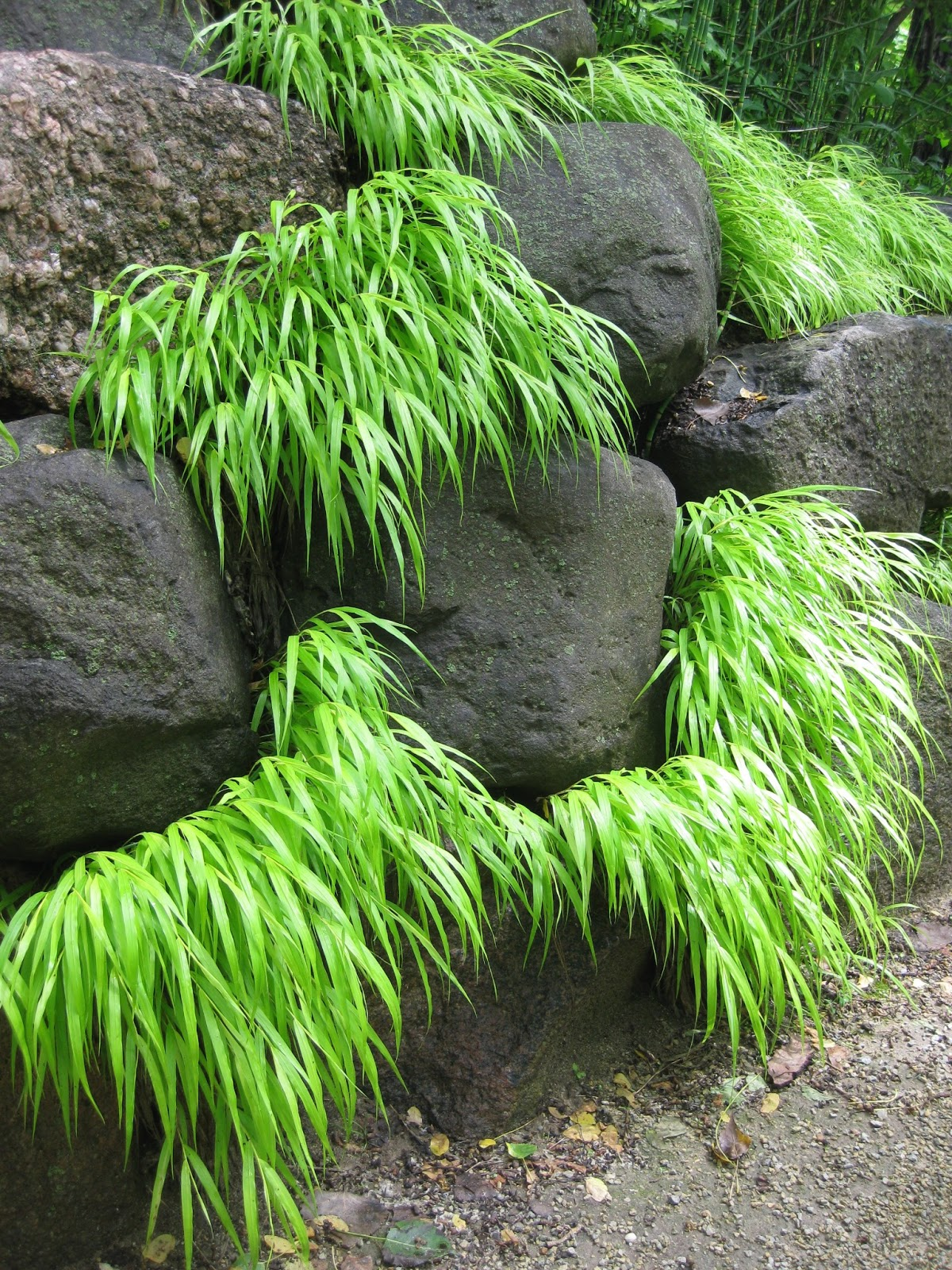 Rotary botanical gardens hort blog the drenching continues for Ornamental japanese grass