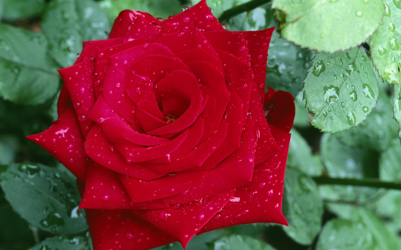 Rosa Roja - Flores Rojas - 03 - Fondos de Pantalla HD - Wallpapers HD ...