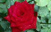 Fondo Rosa Roja - Flores Rojas en HD. Rosa Roja - Flores Rojas flores rojas