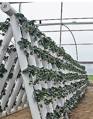 Новые технологии выращивания клубники