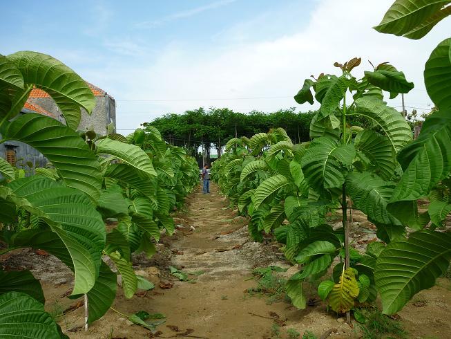 Jabon merupakan jenis pohon yang mirip jati dengan kemuan tumbuh