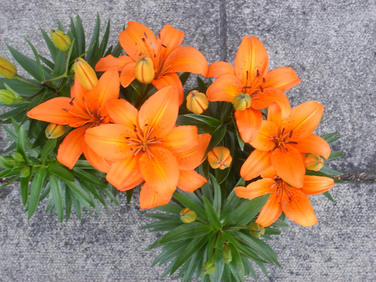 "The Orange Lilly ""O"""