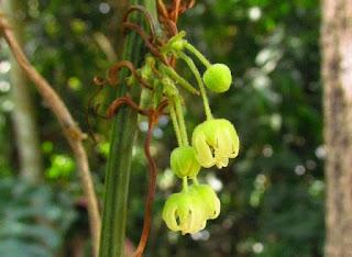 Planta nativa de Mata Atlântica.