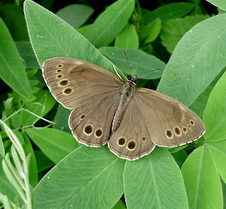 http://fr.wikipedia.org/wiki/Bacchante_%28papillon%29