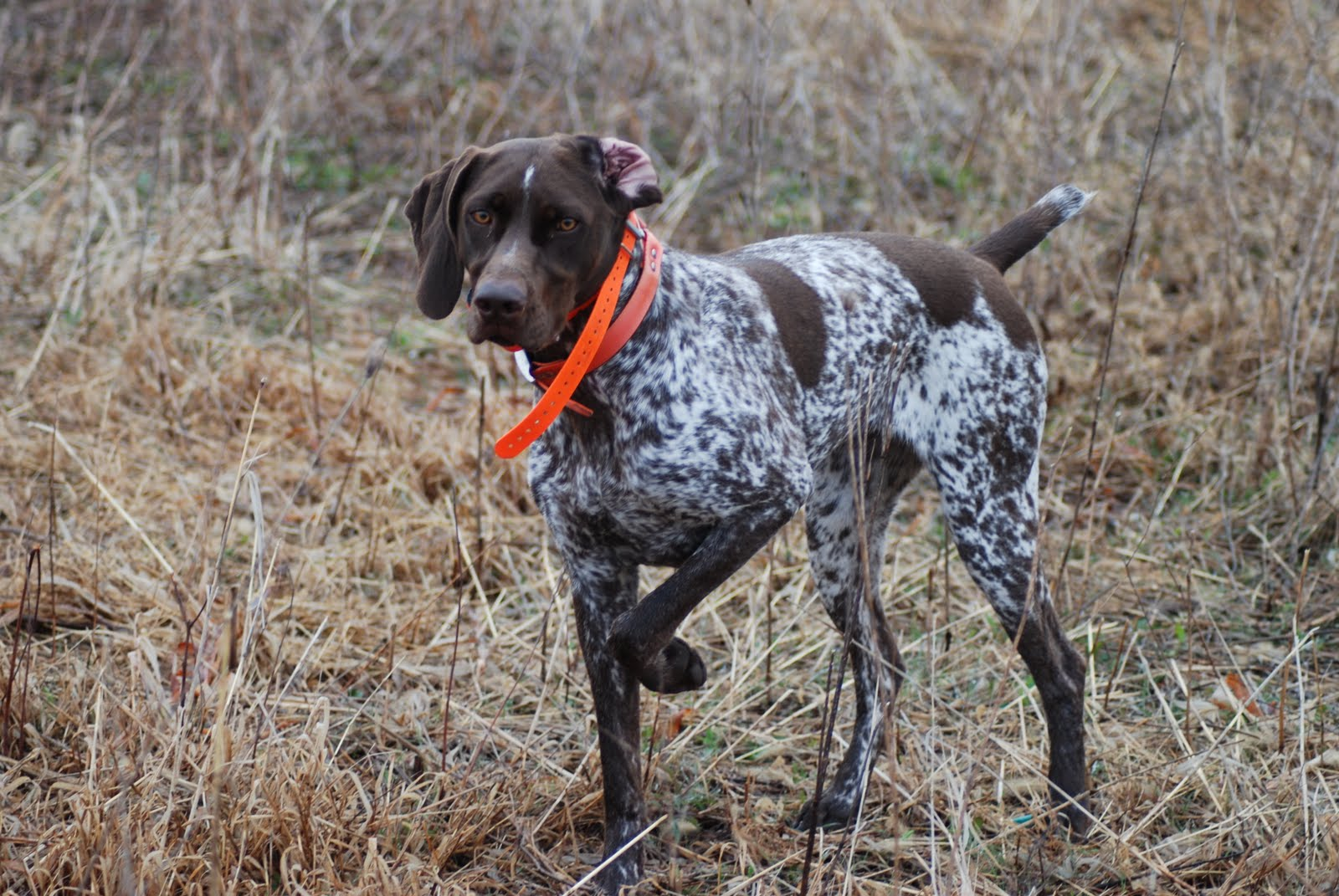 Adventures of a GSP Hunting Dog: Be vewwy vewwy quiet. We ...