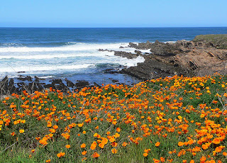 field of california poppies in front of ocean view