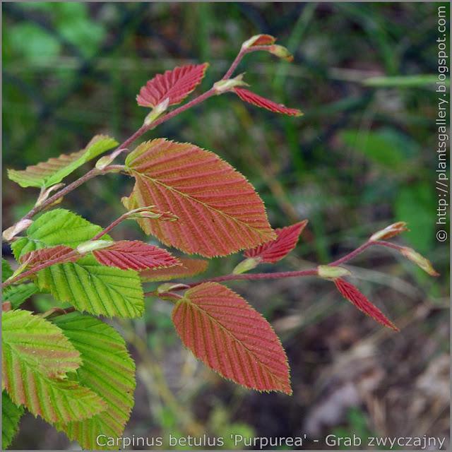 Carpinus betulus 'Purpurea' leawes - Grab zwyczajny 'Purpurea' liście