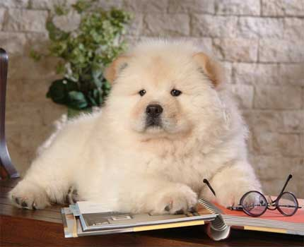 Cutest Dog Breeds In The World Chow Chows