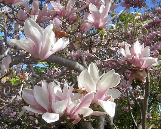 Magnolia, San Jose, Saucer