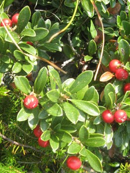 Vaccinium Vitis-Idaea (Mirtillo rosso, Uva di monte)