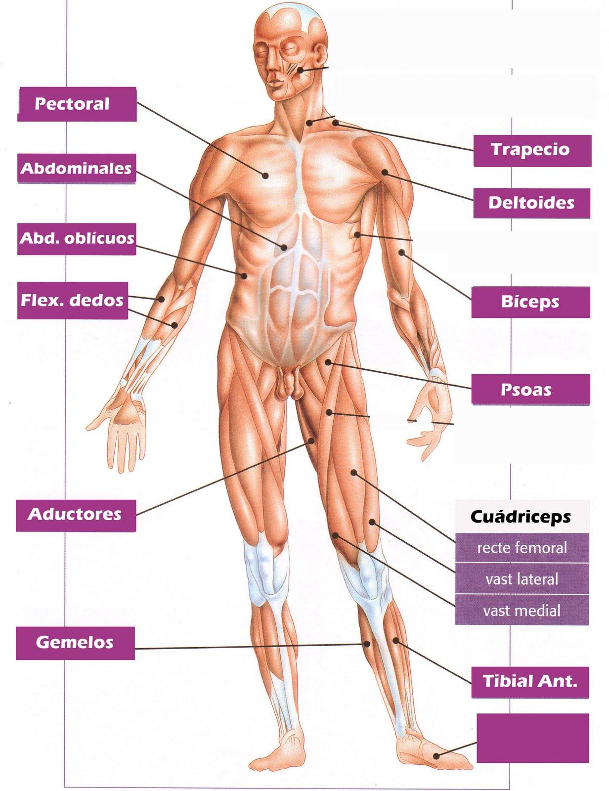 Principales musculos del cuerpo humano explicado para primaria ...