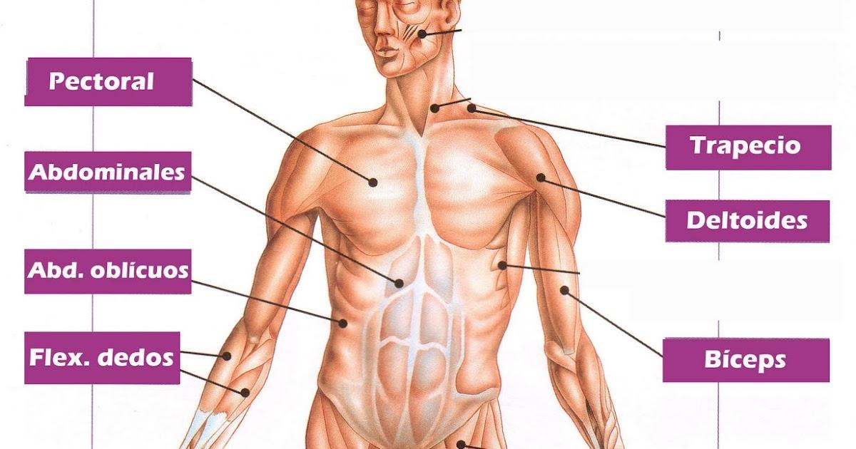Biología y Geología 3ºESO: Principales músculos del cuerpo humano