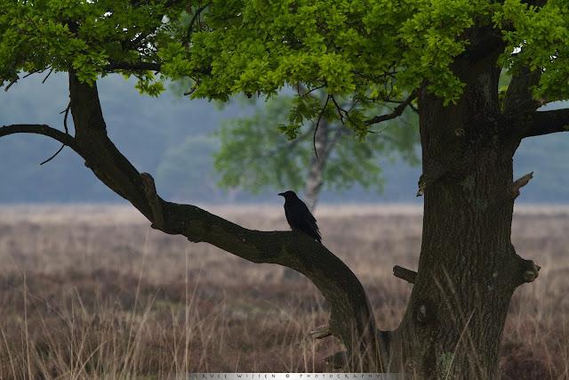 Kraai schuilt onder het bladerdak van een eik - Crow seeks shelter under an oak tree