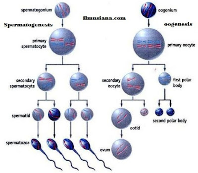 Sperm and Ovum reproductive system