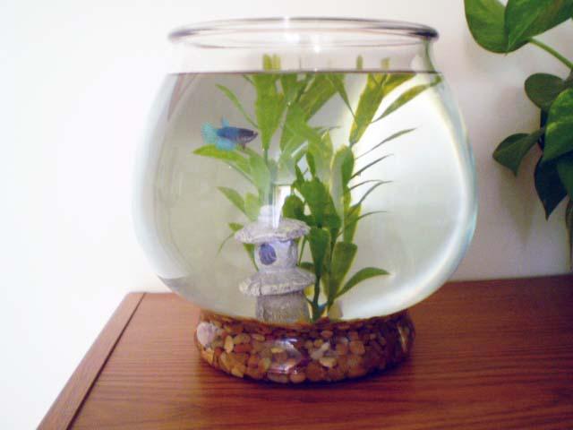 Green Jean Betta Fish