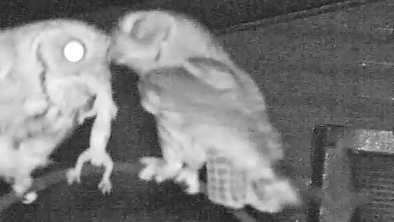 Eastern Screech Owls Quarrel Over Big Lizard