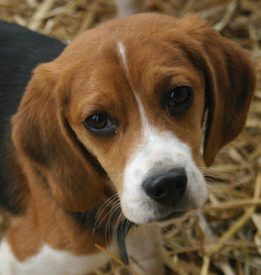 Beagle Puppy Picture