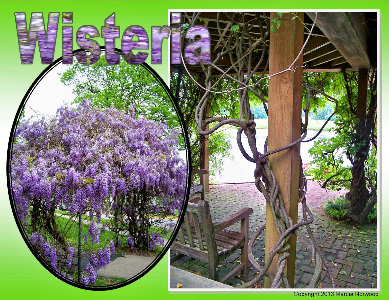 how to tell what type of wisteria you have