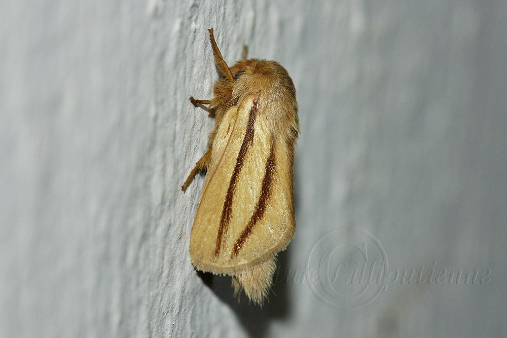 Photo nature lilliputienne macrophotographies papillon de nuit madagascar - Gros papillon de nuit dangereux ...