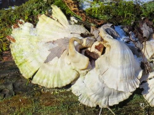 angel wings fungus