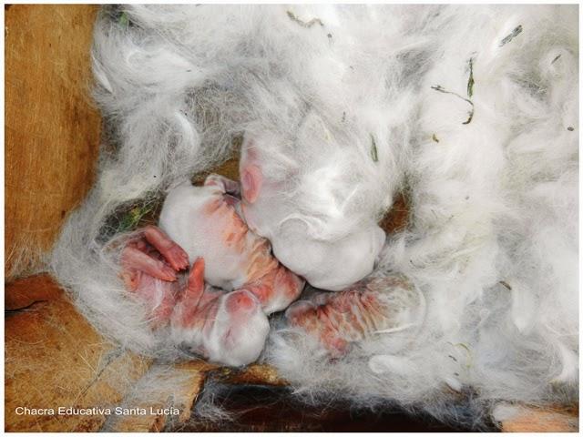Conejos recién nacidos - Chacra Educativa Santa Lucía