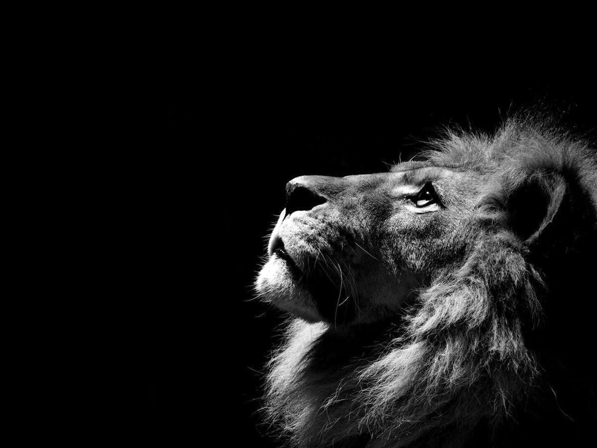 Black Lion Free Wallpapers Crazy Wallpapers