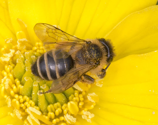 Yellow-legged Mining Bee, Andrena flavipes, on a Marsh Marigold, Caltha palustris, in the pond in Spring Park, 24 April 2013.