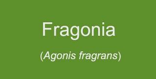 Agonis Fragrans