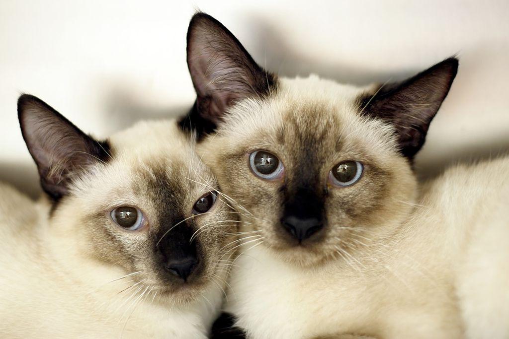 Siamese twin cat