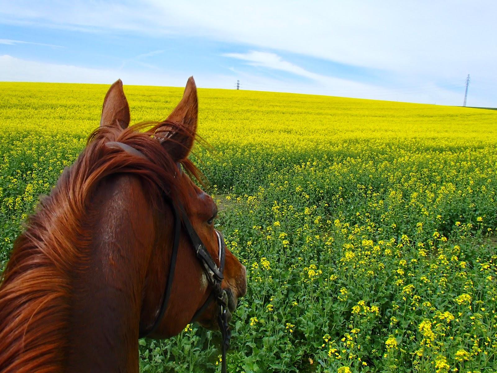 konie, jazda konna, teren, czyreń dębowy