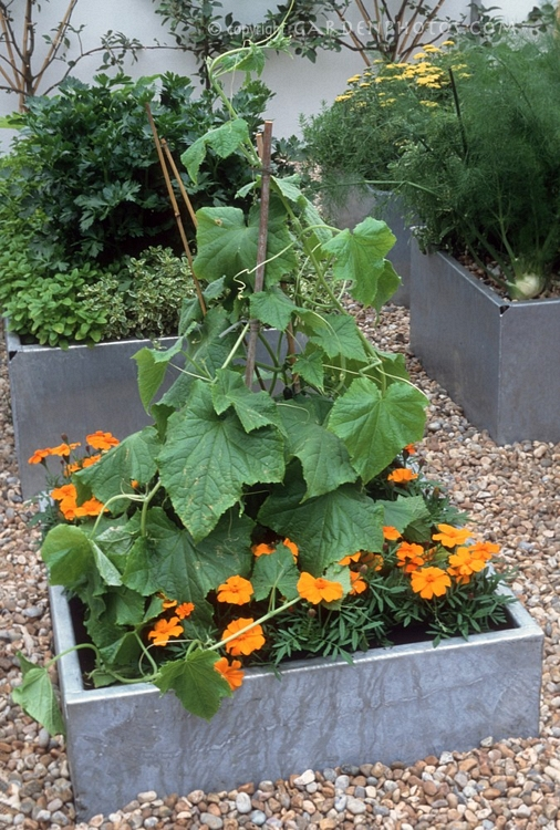 Container Gardening On Pinterest Growing Peppers
