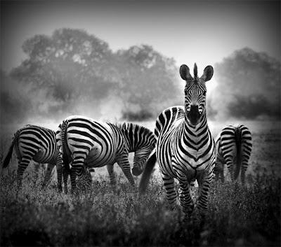 Zebras en blanco y negro