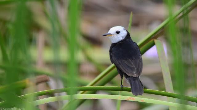 White-headed Marsh-Tyrant Arundinicola leucocephala Freirinha Viudita Cabeciblanca